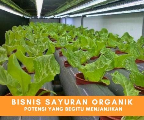 Potensi Menjanjikan Menekuni Bisnis Sayuran Organik